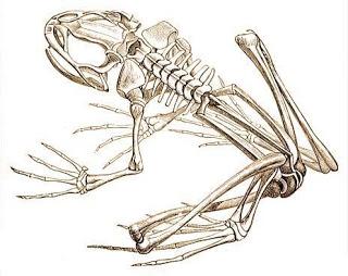 beka-csontvaza